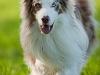 044454, Australian Shepherd