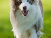 044456, Australian Shepherd