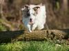 044465, Australian Shepherd