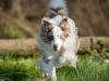 044466, Australian Shepherd