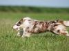 044468, Australian Shepherd
