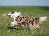 044469, Australian Shepherd