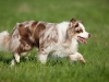 044471, Australian Shepherd
