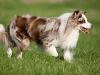 044472, Australian Shepherd