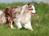 044473, Australian Shepherd