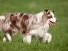 044474, Australian Shepherd