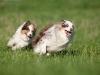 044487, Australian Shepherds